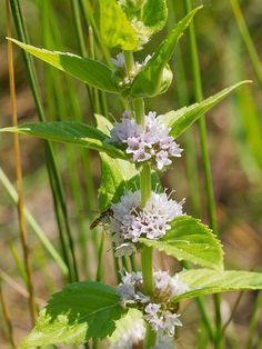 edible wild plants- Pacific NW