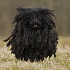 A Black Puli.  (Most people are not familiar with Puli's, but when they do see them they are often white).