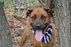 TO BE DESTROYED 11/18/14- Staten Island Center   JANE - A1019193  ***NEW HOPE RESCUE ONLY***  FEMALE, BROWN / BLACK, LABRADOR RETR / GERM SHEPHERD, 3 yrs STRAY - STRAY WAIT, NO HOLD Reason STRAY