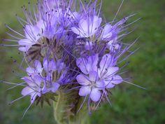 Le dictionnaire des plantes par Ooreka.fr : Phacélie (fiche d'identité, variétés, plantation, culture, entretien et maladies)