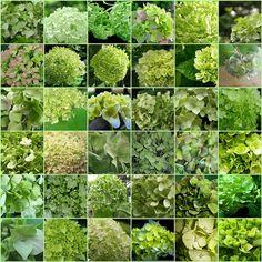 Green hydrangeas (hortensia)