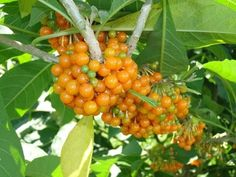 Fruta do Sabiá - Atrativo de 45 espécies de pássaros - Jardim Exótico - O maior portal de mudas do Brasil.