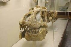 Crâne de Tarbosaurus, Paleontological Institute RAS