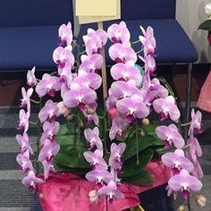 【flowers_room_f】さんのInstagramをピンしています。 《会社設立10周年のお祝いに贈られました、お祝いの胡蝶蘭です♪ . ご依頼主さんより、 . 『他とは違うような感じの胡蝶蘭を贈りたい』 . とのご要望でして、お花市場(胡蝶蘭専門)に足を運んで、こちらの春っぽい色合いの胡蝶蘭を選びました♪ . お花市場でも、白やピンク紫のようなよく見かける胡蝶蘭はたくさんありまして。。。 . この胡蝶蘭は1鉢しかありませんでした。しかも5本立て♪♪ . お届けした後、この胡蝶蘭の写真をご依頼主さんにメールで送ったところ、すぐに返事がきまして、 . 『いい感じですね!』 . とお喜び(^^♪ . . #胡蝶蘭 #珍しい #ピンク #上品 #お祝い #桜 #プレゼント #吉祥寺 #吉祥寺フラワー #春 #春色 #写真 #華やか #感動 #大喜び #プロポーズ #10 #かわいい #可愛い #キュート #花のある暮らし #花のある生活 #花贈り #開業  #kawaii #heart #love #bouquet #life #10周年》