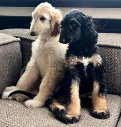 Great Dane Dogs, Best Dogs, Cute Dogs, Afghan Hound Puppy, Animals And Pets, Cute Animals, Animal Facts, Dogs Of The World, Mans Best Friend