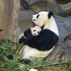 love you mum! Mother's Day in the animal kingdom for super-cute baby prairie pups, tigers and polar bears I can never resist a giant panda - especially when it's giving baby a hug.I can never resist a giant panda - especially when it's giving baby a hug. Cute Baby Animals, Animals And Pets, Funny Animals, Baby Pandas, Giant Pandas, Baby Panda Bears, Wild Animals, Cute Panda Baby, Panda Hug