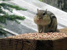 chipmunck on the deck
