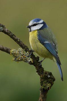 Blue Tit - Herrerillo Comun - (Parus  Caeruleus)