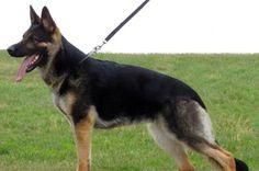 German Shepherd (Dog Breed) | Herry Collections