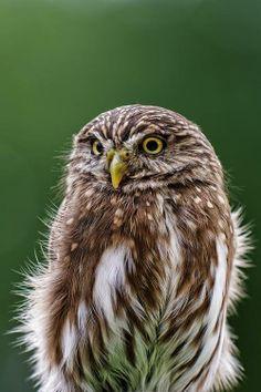 Eurasian Pygmy Owl, photographed by Joerg Lingnau