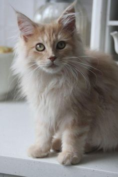 Beautiful Maine Coon kitten! See Grooming of Maine Coons. BTW, mine like a comb. The breeder started mine on being groomed with a comb, and my other half Maine Coons like that much better than a brush ... don't put up as much of a fuss.