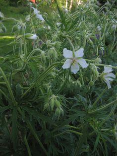 geranium, kurjenpolvi