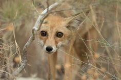 Close-up of young fox | by Alex Geifman