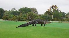 Enormous gator roams Florida golf course.
