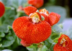Calceolaria Slipper Flower