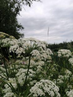 Dandelion, Flowers, Plants, Pictures, Photos, Floral, Photo Illustration, Plant, Taraxacum Officinale