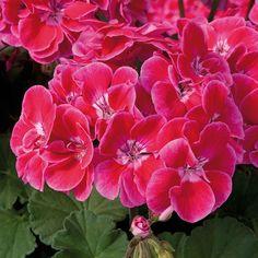 Geranium Fantasia Red Heart (5 Premium Plants)