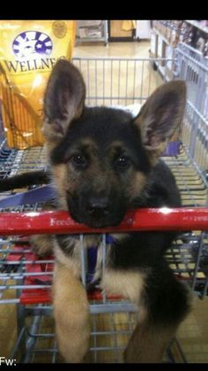 OMG what a beautiful German shepherd puppy in a shopping cart on what I bet is his first trip to the pet store! Just gorgeous