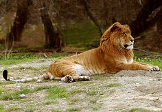 LIGER! A cross between a male lion and a female tiger, they grow larger than either parent species.