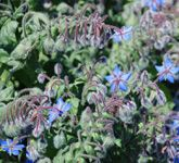 Health benefits of borage    Borage is one of very popular culinary herb especially in Mediterranean countries.The herb contains many notable phyto-nutrients, minerals, and vitamins that are essential for optimum health and wellness.    The herb parts contain essential fatty acid gamma-linolenic acid (GLA), typically in concentrations of 17-20%. Linolenic acid is omega-6 fatty acid that play vital role in restoration of joint health, immunity, healthy skin and mucus membranes.