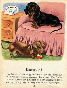 A Dachshund has floppy ears and his feet are turned out like a dancer's. He is always ready for a game!