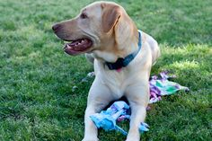 Repurpose a T-shirt for a Dog Pull Toy