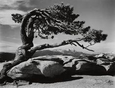 Ansel Adams (Am. 1902-1984), Jeffrey Pine, Sentinel Dome, photographie, 7'1/2 x 9'1/2