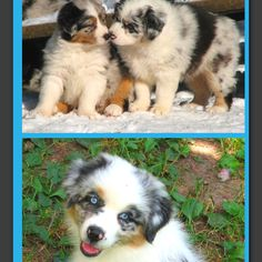Aussies are the cutest puppies ever!