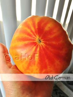 Old German. If the tomatoes remain small, the color seems not to develop. Once they make it to good size an red blush begins at the bottom of the plant, spreading at maturity to striking stripes visible both outside and in.