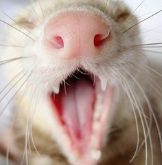 Ferret with open mouth