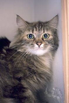 Sassy - Tabby - Domestic Longhair 2 yrs old Sassy is a nervous girl of strangers and prefers to do things in her own time. It may take a while before she becomes your lap-cat, but perseverance will reward you 10-fold.