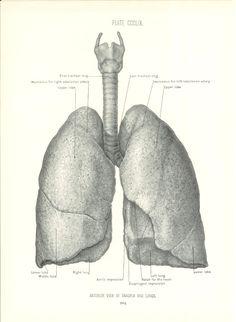 Anatomie humaine 1926 imprimer poumons antérieure par Holcroft