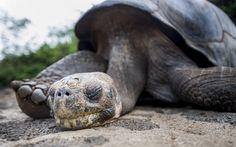 Looking at the Galapagos tortoises in London Zoo – Mark Haddon – Aeon Cute Tortoise, Giant Tortoise, The Last Giant, Lion Turtle, Esio Trot, Animal Intelligence, Mark Haddon, Sulcata Tortoise, In The Zoo