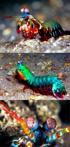 This mantis shrimp can see more colors than you can think of. One of Mother Natures amazing critters…