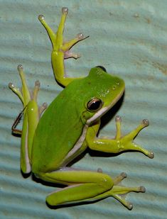 Tree Frog by duggiehoo on DeviantArt