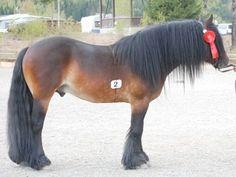 Dølehest - stallion Myklaren