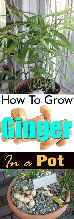 Growing ginger in a pot is easy! It's a great idea if you live in a cool temperate climate or you don't have a plenty of space. Growing ginger in a pot is easy! It's a great idea if you live in a cool temperate climate or you don't have a plenty of space. Growing Ginger Indoors, Growing Herbs, Growing Vegetables, Growing Tomatoes, Indoor Vegetable Gardening, Organic Gardening, Gardening Tips, Gardening Shoes, Beginners Gardening