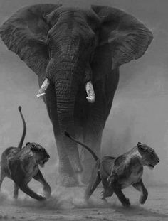 African elephant chasing lions