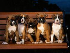 5 kleine boxers die zaten op een bank...