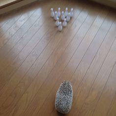 Bowling🎳 #hedgehog