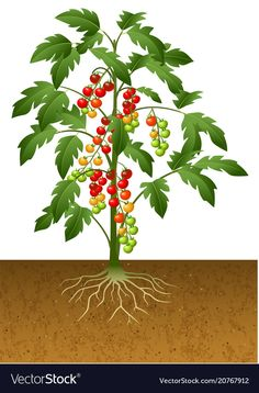 Cherry tomato plant with root under the ground Vector Image Growing Tomato Plants, Growing Tomatoes In Containers, Growing Vegetables, Cherry Tomato Plant, Cherry Tomatoes, Container Vegetables, Container Gardening, Vegetable Crafts, Vegetable Drawing