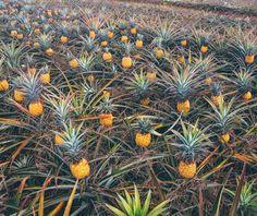 Touring a Hawaiian Pineapple Farm