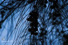 Casuarina cunninghamiana fruit  Date Of Post - 27/08/2016 Theme - Free  Exif Camera - CANON EOS 700D, Lecs 55-250mm, F-STOP - F/10, Exposure time - 1/800sec, ISO speed - ISO 800, Exposure Bias - 0step , Focal Length - 250mm