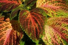 Free Image on Pixabay - Colorful Nettle, Nettle, Plant Free Pictures, Free Images, Coral, Shades Of Yellow, Garden Projects, Bunt, Garden Design, Plant Leaves, Sunrise