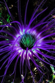 Anemone brilliance