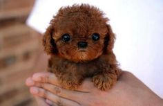 so...  I know you will know... is this a Cavoodle???