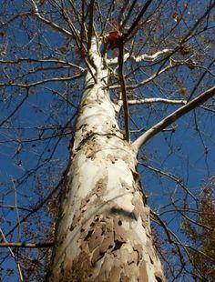 30 Saatgut Seeds Platanus American Sycamore