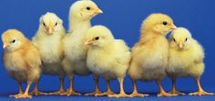 Post image for How To Care For a Setter Hen and Hatch Chicks