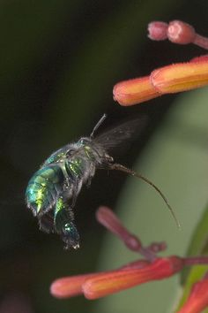 This is an orchid bee with her tongue out so she can drink nectar.
