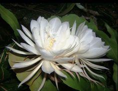 Dama da Noite (Selenicereus grandiflorus) assim é chamada porque desabrocha apenas uma vez por ano, e somente durante uma noite.